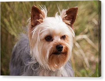 Purebred Yorkshire Terrier Canvas Print