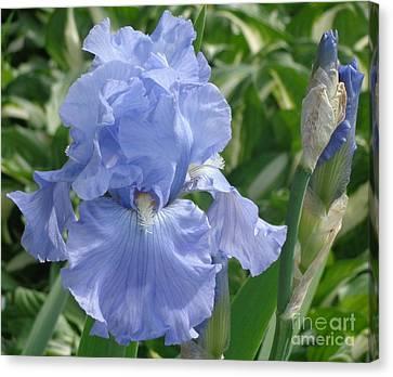 Purely Pretty Iris Canvas Print by Christina Verdgeline