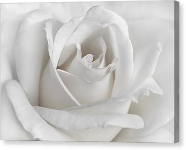 Purity Of A White Rose Flower Canvas Print