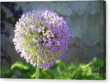 Purple Allium 2 Hollandicum Sensation  Canvas Print by Andee Design