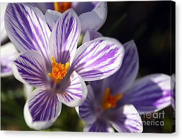 Purple And White Crocus Canvas Print by Sharon Talson