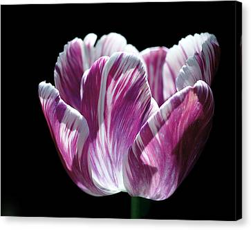 Canvas Print featuring the photograph Purple And White Marbled Tulip by Rona Black