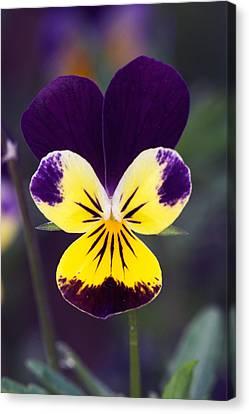 Purple And Yellow Johnny-jump-ups Canvas Print