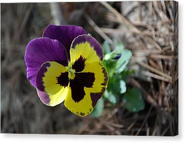 Canvas Print featuring the photograph Purple And Yellow Pansy by Tara Potts