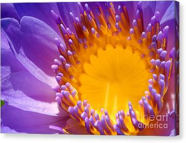 Purple And Yellow Water Lily Close Up Canvas Print