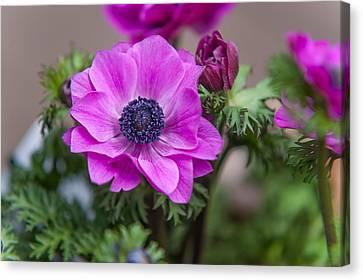 Purple Anemone. Flowers Of Holland Canvas Print