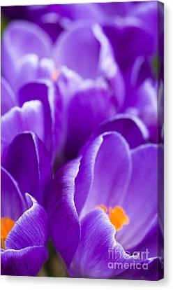 Purple Canvas Print by Anne Gilbert