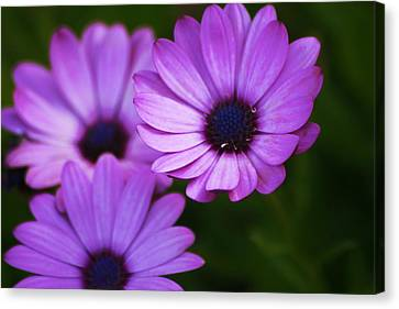 Purple Aster Canvas Print by Regina  Williams