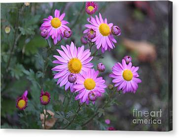 Purple Asters Canvas Print by Lena Auxier