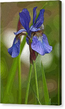Purple Bearded Iris Watercolor With Pen Canvas Print