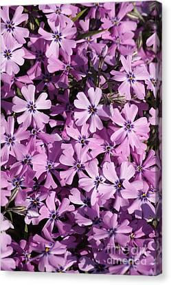 Purple Beauty Phlox Canvas Print by Carol Groenen
