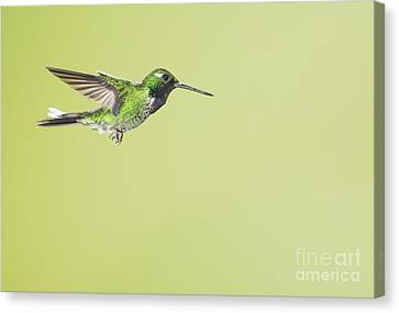 Canvas Print featuring the photograph Purple-bibbed White-tip Hummingbird by Dan Suzio