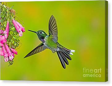 Purple-bibbed Whitetip Hummingbird Canvas Print by Anthony Mercieca