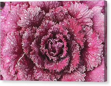 Purple Cabbage On A Frosty Morning Mill Canvas Print by Stuart Westmorland