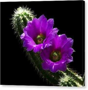 Fuschia Canvas Print - Purple Cactus Flowers  by Saija  Lehtonen