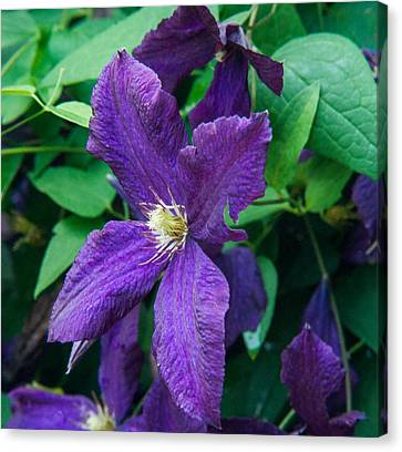 Purple Clematis Greating The Day Canvas Print
