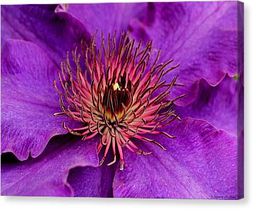 Canvas Print featuring the photograph Purple Clematis by Suzanne Stout