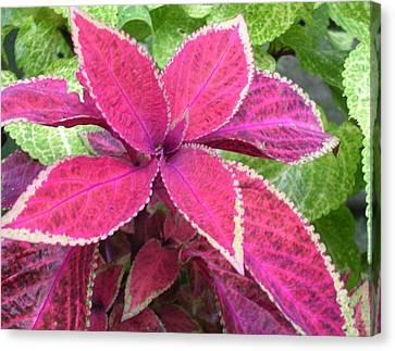 Purple Coleus Canvas Print by Dusty Reed