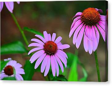 Purple Coneflower - Echinacea Canvas Print