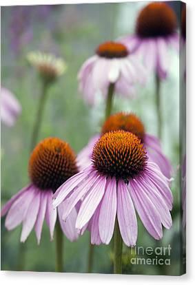 Purple Coneflower Canvas Print by Juli Scalzi