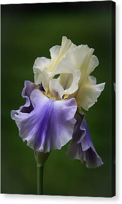 Canvas Print featuring the photograph Purple Cream Bearded Iris by Patti Deters