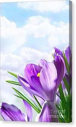 Purple Crocus Canvas Print by Boon Mee