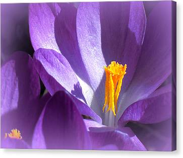 Purple Crocuses Before Spring Canvas Print