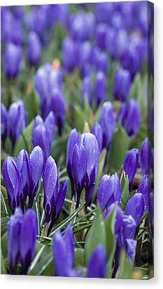 Crocus Flowers Canvas Print - Purple Crocuses by Juli Scalzi