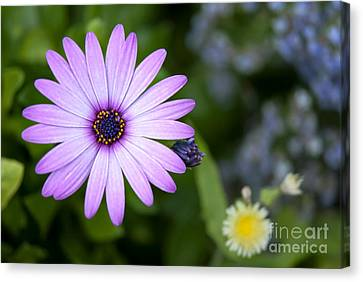 Purple Daisy Canvas Print by Design Windmill