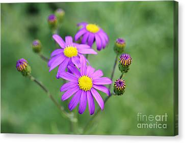 Purple Daisy  Canvas Print by Neil Overy