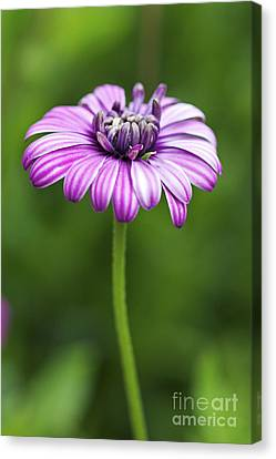 Purple Daisy Canvas Print