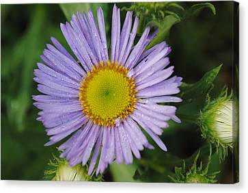Canvas Print featuring the photograph Purple Daisy by Robert  Moss