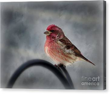 Canvas Print featuring the photograph Purple Finch by Brenda Bostic