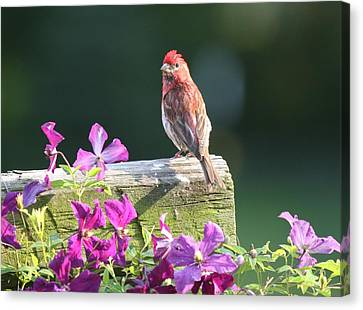 Purple Finch By Clematis Canvas Print
