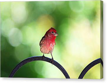 Canvas Print featuring the photograph Purple Finch by Trina  Ansel
