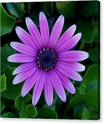Purple Flower Canvas Print by Pamela Walton