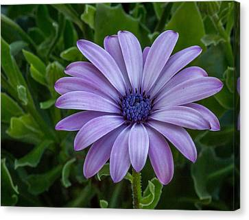 Canvas Print featuring the photograph Purple Flower  by Trace Kittrell