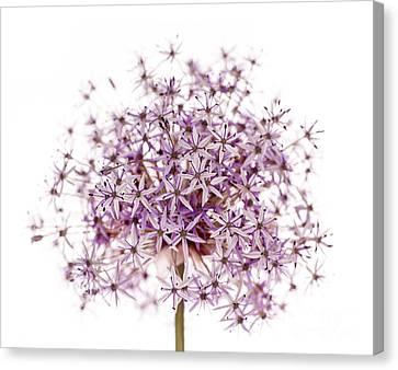 Purple Flowering Onion Canvas Print by Elena Elisseeva