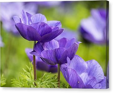 Purple Flowers Canvas Print by Jon Woodhams