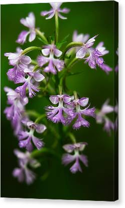 Purple Fringed Orchid Canvas Print by Jeff Sinon