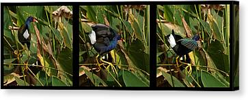 Purple Gallinule Triptych Canvas Print by Dawn Currie