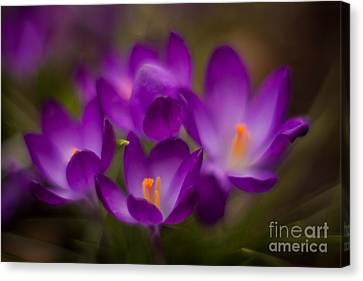 Crocus Flowers Canvas Print - Purple Garden Flourish by Mike Reid
