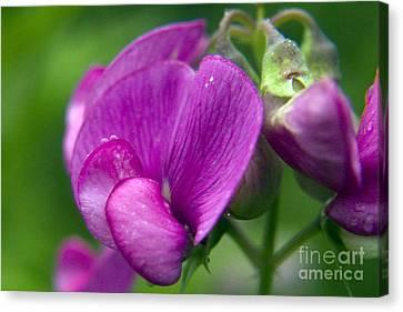 Purple Garden Flower Canvas Print by Darleen Stry