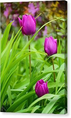 Purple Gems- Purple Tulips Rhode Island Tulips Purple Flower Canvas Print