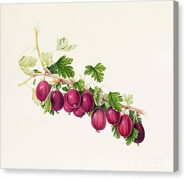 Horticultural Canvas Print - Purple Gooseberry by William Hooker