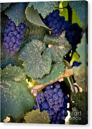 Purple Grapes Canvas Print - Purple Grapes On The Vine by Ana V Ramirez
