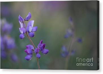 Purple Haze Canvas Print by  Ruth Jolly