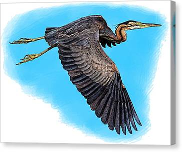 Purple Heron Canvas Print by Roger Hall
