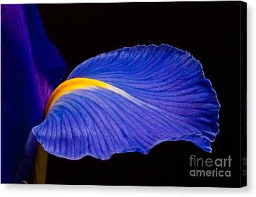 Purple Iris #1 2010 Canvas Print