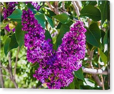 Purple Lilac Love Canvas Print by Omaste Witkowski